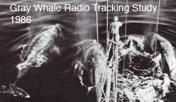 Radio tracking whales